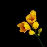 Gul blomma på svart bakgrund Arkivfoto