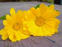 Gul blomma på tabellen Arkivbild