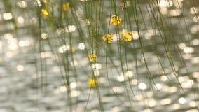 Gul blomma på träd med solljusreflexioner på vattenyttersida lager videofilmer