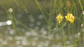 Gul blomma på träd med solljusreflexioner på vattenyttersida arkivfilmer