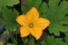 Gul blomma på zucchinizucchiniväxten Royaltyfri Fotografi