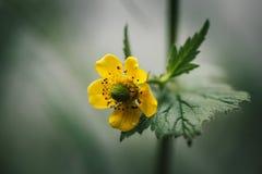 Gul blomma p? gr?n suddig bakgrund Cinquefoil eller potentilla Sidosikt, närbildmakro L?s blomma i ?ngen royaltyfri bild