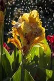 Gul blomma & regnet Fotografering för Bildbyråer