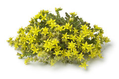 Gul blomma Sedum tunnland royaltyfri bild