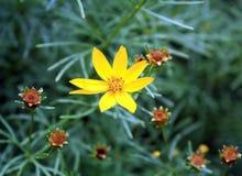 Gul blomma som är vid liv och sproting arkivbilder