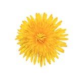 Gul blomma som isoleras på vit Royaltyfri Foto
