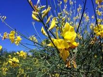 Gul blomma, spansk kvast Arkivfoto