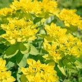 Gul blomma Spurge Arkivfoton