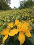 Gul blomma, suddig bakgrund Arkivfoton