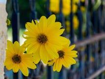 Gul blomma tre och ett staket royaltyfria bilder