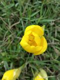 Gul blomma - tulpan Royaltyfria Bilder