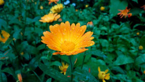 Gul blomma under regnet royaltyfria bilder