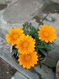 Gul blommabild Arkivbild
