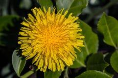 Gul blommablomning Arkivbild