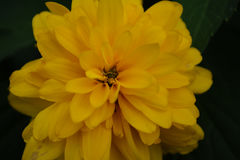 Gul blommacloseup Arkivbilder