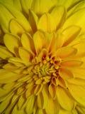 Gul blommacrysantheme arkivbild