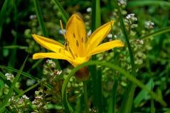 Gul blommadaylily Royaltyfri Foto