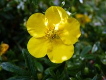 Gul blommadetalj Royaltyfria Bilder