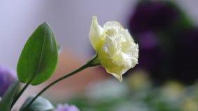 Gul blommaeustomanärbild med bokeh lager videofilmer