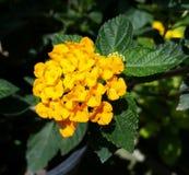 Gul blommagrupp Fotografering för Bildbyråer