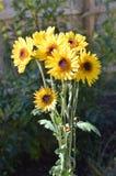 Gul blommagrupp i trädgård Royaltyfri Bild