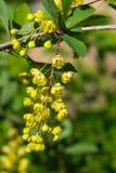 Gul blommaklunga på den blommande allmänning- eller europébarberryen, Vulgaris Berberis, makro, selektiv fokus, grund DOF fotografering för bildbyråer