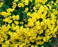 Gul blommakrysantemum Arkivfoto
