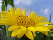 Gul blommamakro fotografering för bildbyråer