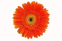 Gul blommanärbild Royaltyfri Foto