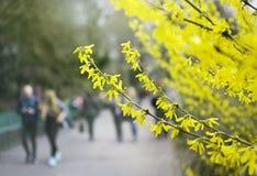 Gul blommande buske, buske, blomning, vår i botaniska trädgården, naturbakgrund Arkivbilder