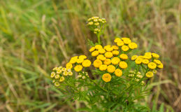 Gul blommande gemensam Tansy Arkivfoto