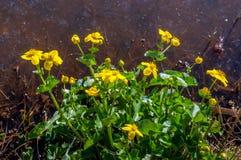 Gul blommande och spirande Kingcup växt på vattensidan Royaltyfri Fotografi