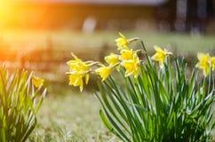 Gul blommande påsklilja med vattendroppar solig dag Det regnar i solig dag Låg vinkel solsken Soluppgång Royaltyfri Foto