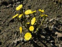 Gul blommande tussilago Vårtussilagofält första blommafjäder royaltyfria bilder
