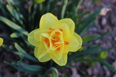 Gul blommapingstlilja Arkivbild