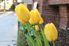 Gul blommapingstlilja i trädgården Royaltyfria Bilder