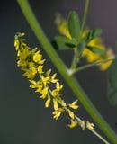 Gul blommasjö Royaltyfria Bilder