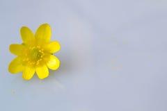 Gul blommasmörblomma Fotografering för Bildbyråer