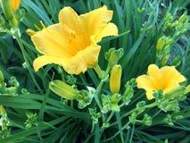 Gul blommaträdgård Arkivfoton