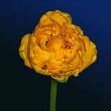 Gul blommatrollius Royaltyfri Fotografi
