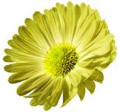 Gul blommatusensköna som isoleras på vit bakgrund För design closeup royaltyfria foton