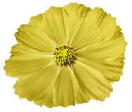 Gul blommatusensköna som isoleras på vit bakgrund För design closeup fotografering för bildbyråer