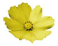 Gul blommatusenskönavit isolerade bakgrund med den snabba banan Inget skuggar closeup royaltyfri fotografi