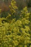 Gul blomning av Galiumverumväxter royaltyfri foto