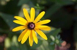 Gul blomning med lilamitten (coneflower) Royaltyfri Foto