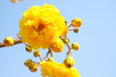 Gul bomull blommar på bakgrunden för blå himmel Royaltyfri Fotografi