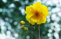Gul bomull, namn för träd för siden- bomull vetenskapligt: Den Cochlospermum religiosumen blommar i natur arkivfoton