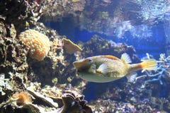 Gul boxfish Arkivbild
