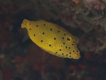 Gul boxfish Arkivbilder