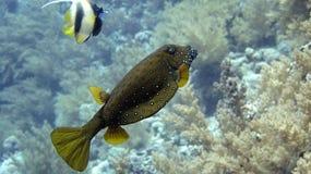 Gul boxfish Arkivfoton